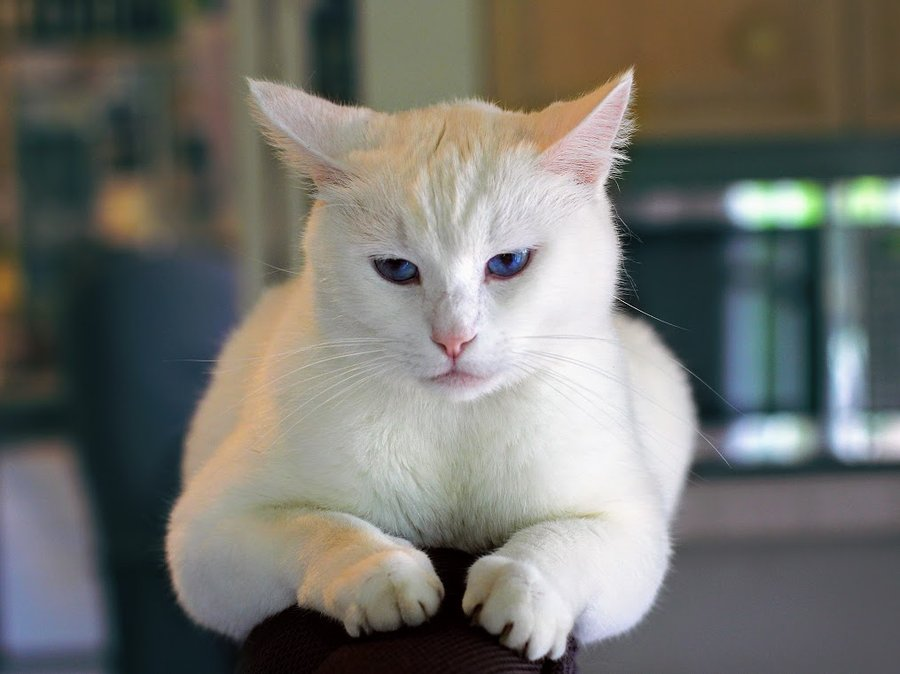 unhappy and impatient white cat