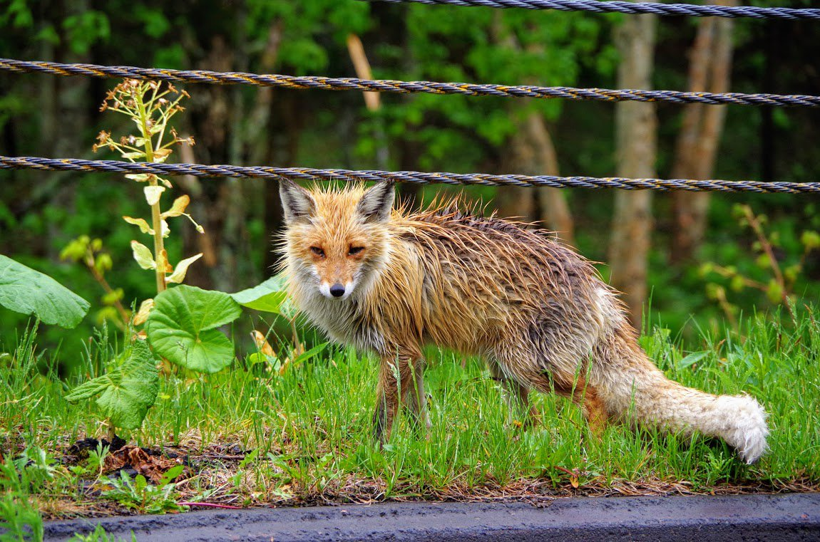 wet unhappy fox